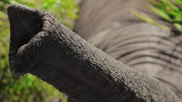大象鼻子是超级吸盘吸气速度是人类打喷嚏的30倍